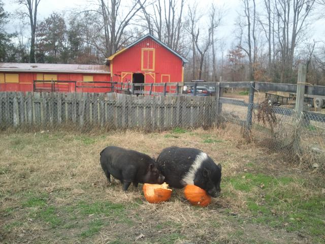 Pigs and Pumpkins.jpg